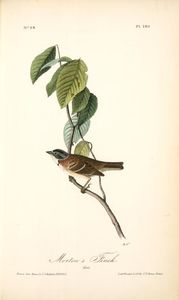 Morton's Finch. Male