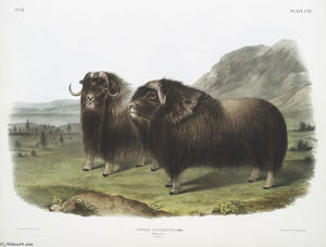 Ovibos moschatus, Musk Ox. Males