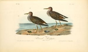 Pectoral Sandpiper. 1. Male. 2. Female