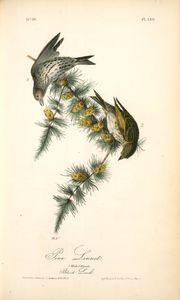 Pine Linnet. 1. Male. 2. Female. (Black Larch)