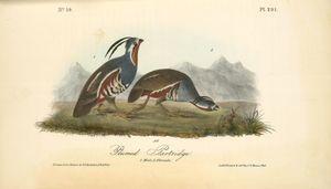 Plumed Partridge. 1. Male. 2. Female