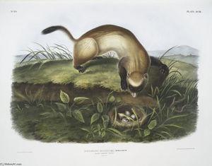 Putorius nigripes, Black-footed Ferret
