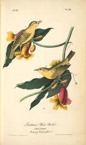 Rathbone's Wood-Warbler. 1. Male. 2.Female