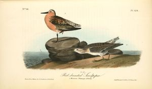 Red-breasted Sandpiper. 1.Summer plumage. 2. Winter