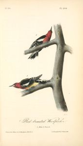 Red-breasted Woodpecker. 1. Male. 2. Female