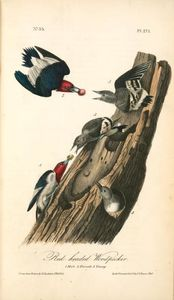 Red-headed Woodpecker. 1. Males. 2. Female. 3. Young