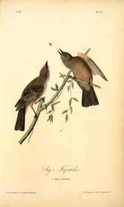 Say's Flycatcher, 1. Male, 2. Female