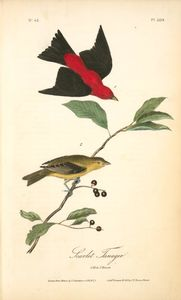 Scarlet Tanager. 1. Male. 2. Female