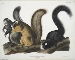 Sciurus capistratus, Fox Squirrel. Natural size