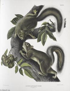 Sciurus leporinus, Hare Squirrel. Natural size