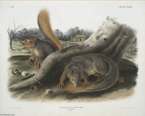 Sciurus Sayi, Say's Squirrel