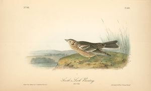 Smith's Lark-Bunting. Adult Male