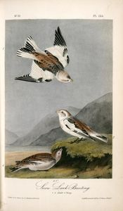 Snow Lark Bunting. 1. 2. Adult. 3. Young