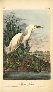 Snowy Heron. Male