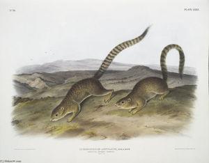 ジリス属annulatus、環化マーモットリス