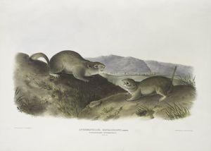 Spermophilus Richardsonii, Richardson's Spermophile. Natural size