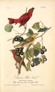 Summer Red-bird. 1. Male. 2. Female. 3. Young Male. (Wild Muscadine. Vitis rotundifolia, Mich.)