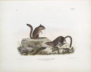 Tamias Townsendii, Townsend's Ground Squirrel