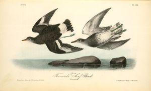 Townsend's Surf-Bird. Females