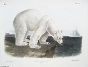 Ursus maritimus, Ours polaire