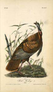 Wild Turkey. Male