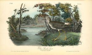 Yellow Shank Tatler. Male, Summer plumage