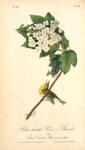 Yellow-throated Vireo, or Greenlet. Male. (Swamp Snowball. Hydrangea quercifolia.)