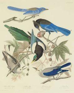 Yellow billed Magpie. Stellers Jay. Ultramarine Jay. Clark's Crow