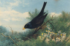 A Blackbird Amongst Gorse