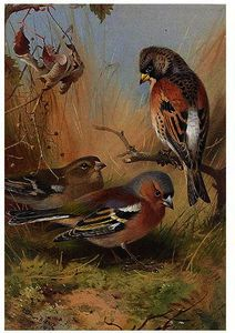 A Brambling And Two Chaffinches