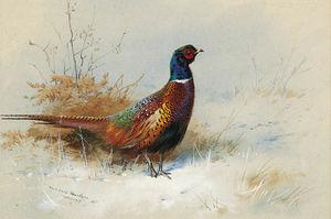 A Cock Pheasant 1