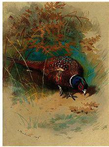 A Cock Pheasant Feeding