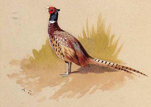 A Cock Pheasant, A Study