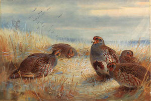 A Covey Of Partridge In The Stubble