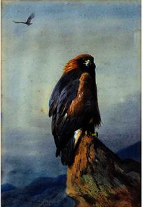 A Golden Eagle 1