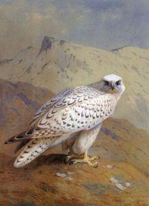格陵兰或Gyr的猎鹰