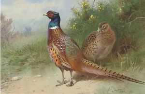 A Hen And Cock Pheasant By Gorse