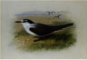 A Lesser Sooty Tern