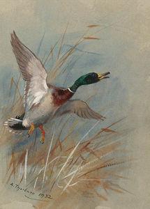 A Mallard Rising From Reeds