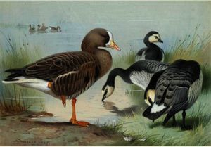 A White-Fronted Goose And Barnacle Geese