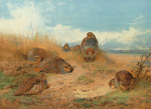 Basking In The Noonday Sun. A Covey Of Grey Partridge