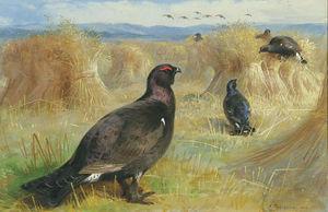 Blackcock Amongst The Corn Stookes