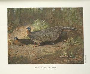 Bornean Argus Pheasant (Argusianus Grayi)