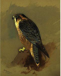 British Peregrine Falcone
