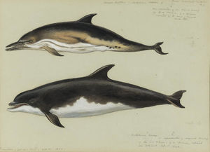 Common Dolphin And Bottlenose Dolphin