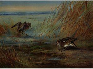 Common Snipe On Marshland