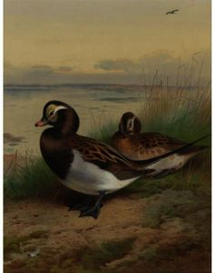 Long Tailed Duck, Summer