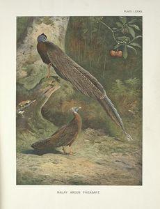 Malay Argus Pheasant (Argusianus Argus)