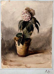 Still-Life Of A Hydrangea