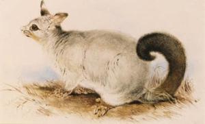 Trichosurus Vulpecula (Common Brushtail Possum)